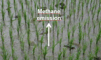 Scientists at the State Key Laboratory of Soil and Sustainable Agriculture of the Chinese Academy of Sciences in Nanjing, at the Netherlands Institute of Ecology in Wageningen and at the Max-Planck-Institute for Terrestrial Microbiology in Marburg, Germany, discovered that the bacteria responsible for the oxidation of atmospheric methane in rice field soil are actually conventional methanotrophs (both type I and type II) becoming active after flush-feeding with elevated methane concentrations.