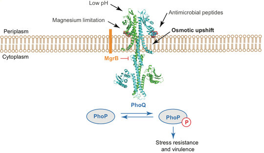 "<p style=""text-align: justify;""><strong>Overview of the PhoQ/PhoP two-component system in <em>Escherichia coli</em> and <em>Salmonella. </em></strong>PhoQ (shown in blue-green ribbon) directly senses environmental stimuli, which include magnesium limitation, low pH, antimicrobial peptides and osmotic upshift, and activates PhoP by phosphorylation. The phosphorylated PhoP promotes the expression of a set of genes that are important for survival and virulence of enterobacteria.</p>"