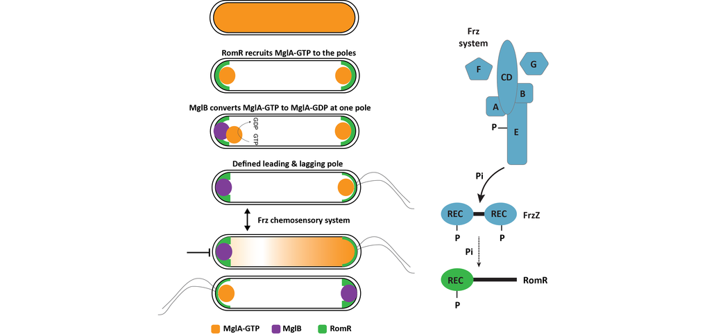 Left panel, MglA, MglB and RomR establish the leading/lagging cell polarity axis. Right panel, the Frz chemosensory system signals to the RomR response regulator for reversals.