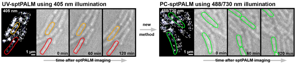 "Single-molecule trajectories of RNA polymerase dynamics in living E. coli cells obtained over 6 minutes of sptPALM imaging using either UV light (left) or primed conversion (488/730 nm light, right) for super-resolution imaging. <div style=""text-align: justify;"">Cell shapes are marked by dashed outlines, solid outlines highlight exemplary cells (red dead, orange paused, green undisturbed) which are also marked in the following brightlight images. The brightlight images depict cell growth after sptPALM over several hours. Whereas UV-imaged cells are highly affected (left), cells imaged by primed conversion (right) continue to grow normally. Scale bars 1 μm (sptPALM), 5 μm (brightlight).</div>"