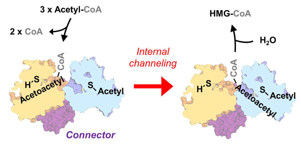 <p><strong>Archaea overcome a thermodynamic bottleneck via enzymatic channeling</strong></p>