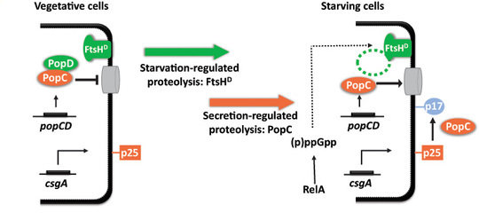 <strong> In vegetative cells PopC interacts with PopD and, consequently, PopC secretion is inhibited.</strong> In response to starvation, the (p)ppGpp synthase RelA is activated and by an unknown mechanism (p)ppGpp results in PopD degradation in a process that depends on the FtsH<sup>D</sup> protease. Subsequently, PopC is secreted and cleaves p25 to generate p17.