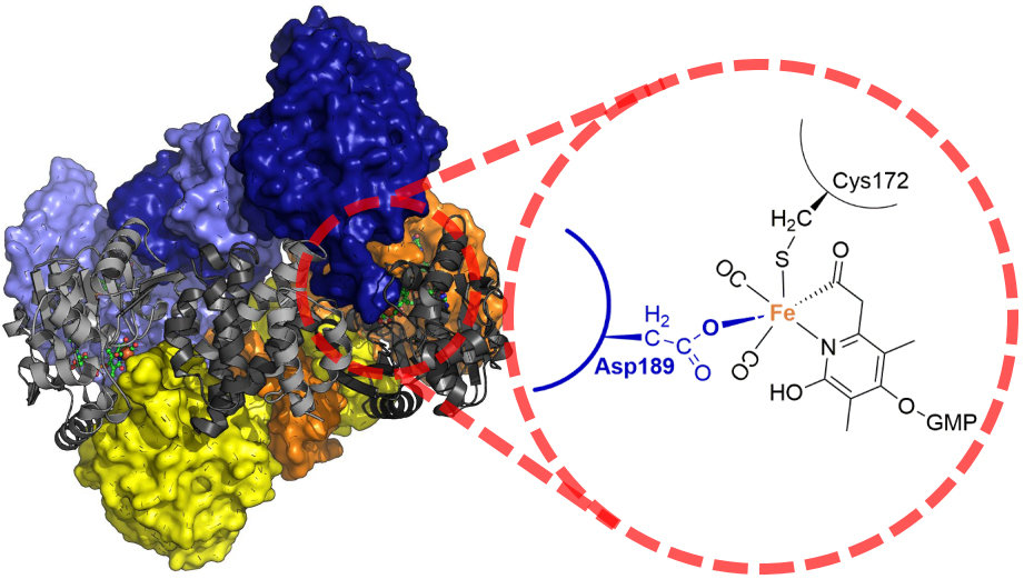 Hydrogenase enzymes catalyze production and utilization of hydrogen gas, which is considered as a future energy carrier. Scientists at the Max Planck Institute for Terrestrial Microbiology in Marburg and a collaborator at the Max Planck Institute for Biophysics discovered that [Fe]-hydrogenase is protected by conformational change of the protein. This finding is crucial for future application of hydrogenases and for understanding the catalytic mechanism of this enzyme.