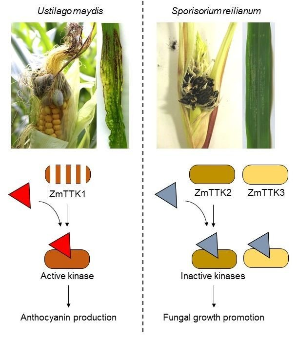 Smut fungi are pathogens that parasitize mainly grass plants including economically important cereals like maize. Most smut pathogens cause disease symptoms only in the flowers of their host plants. An exception is Ustilago maydis, a fungus inducing tumor formation and anthocyanin accumulation in all above ground organs of maize (Figure 1). Anthocyanin formation allows the fungus to spread efficiently in the infected tissue. It is unclear how U. maydis has acquired such a unique pathogenic lifestyle.
