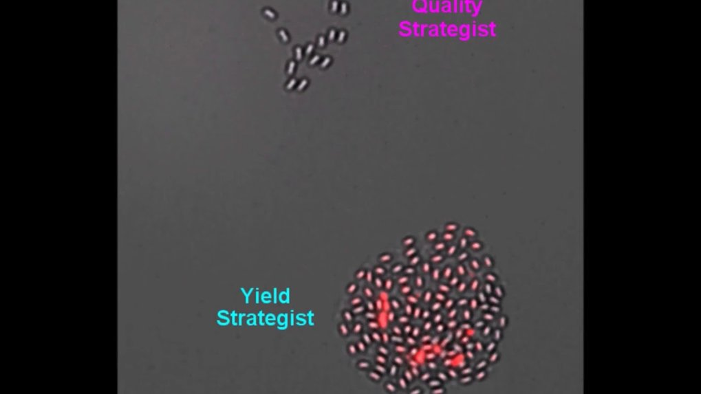 "Recently, it has become technically possible to observe spore formation and spore revival on a hydrogel in fast motion. Genetic modifications can be<span class=""details expanded"" style=""display: inline;""> used to adjust the life cycle strategy of Bacillus subtilis. The ""yield strategist"" forms many spores, the ""quality strategist"" forms fewer but better spores. In nutrient-poor environments, ""quality"" beats ""quantity"".</span>"