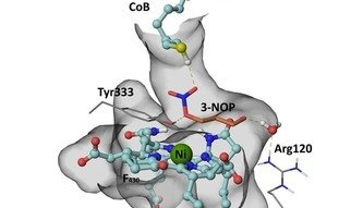 Scientist at DSM Nutritional Products, Basel, Switzerland, and  at  the Max Planck Institute for Terrestrial Microbiology in Marburg, Germany,  have unraveled the mechanism of how the small molecule 3-nitrooxypropanol (3-NOP) inhibits methanogenesis in ruminants.